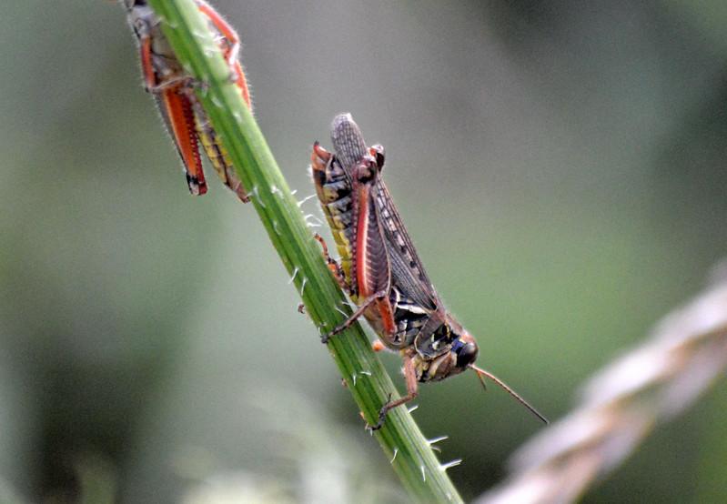 grasshopper-boettler-park-closeup.jpg