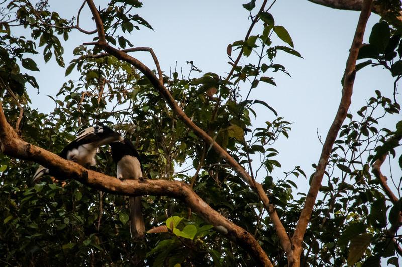 BIRD - pied hornbill pair 3-2.jpg