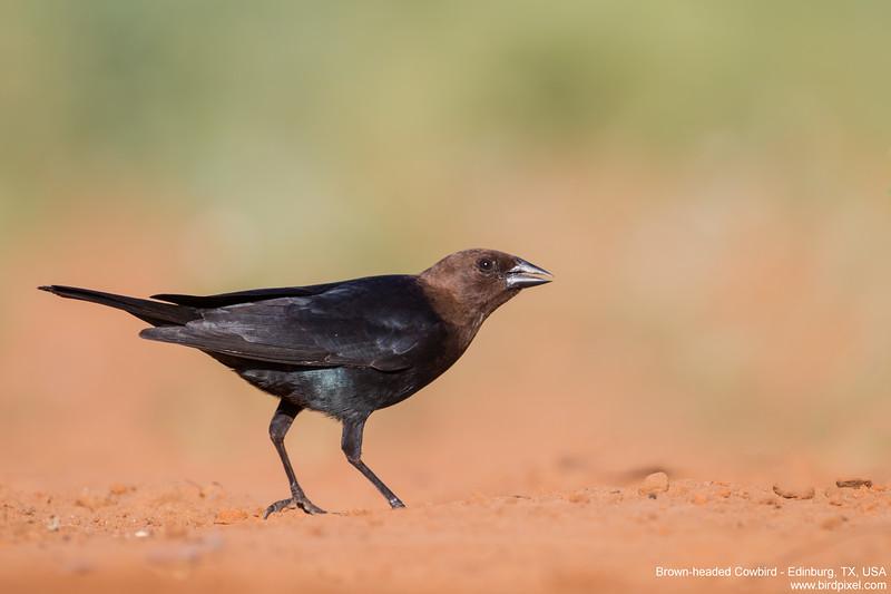Brown-headed Cowbird - Edinburg, TX, USA