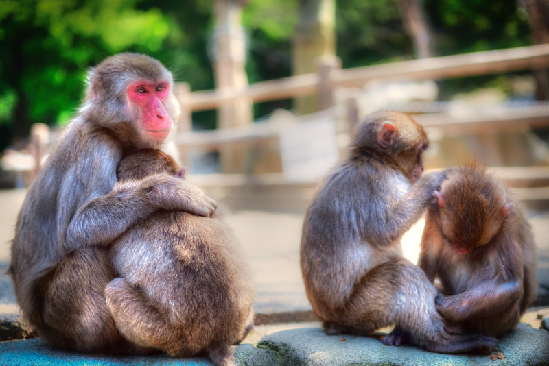 Japanese Monkeys of Takasaki  A small family of monkey enjoying a relaxing evening.   From the photo blog of http://alikgriffin.com