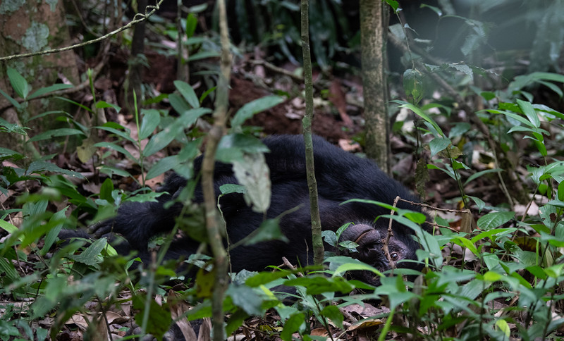 Uganda_T_Chimps-246.jpg