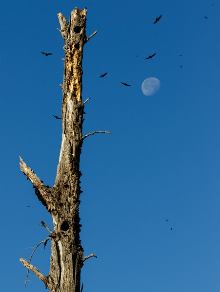 Near the Palm County Landfill, vultures can be found in quantity. To create this scene a composition of 3 shots was needed.  All the elements were shot at the same location and at the same time, but at different focal lengths