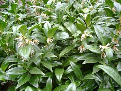 Sarcococca hookeriana var. humilis.jpg
