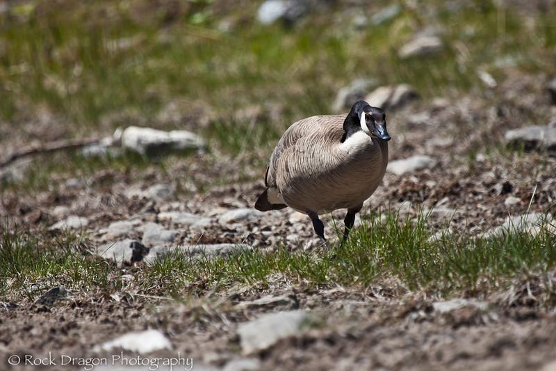 Canada Goose.