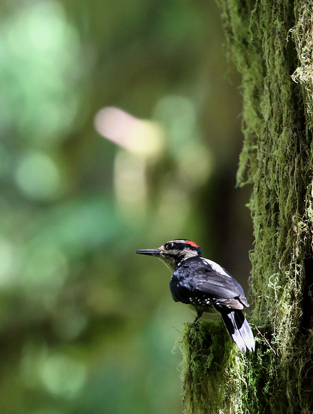 Hairy Woodpecker - Male.jpg