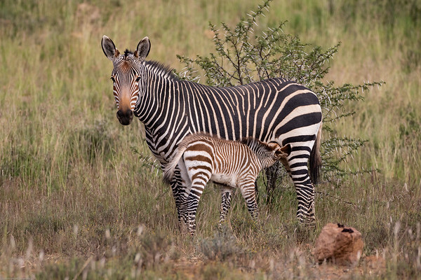 Mountain Zebra National Park March 2018