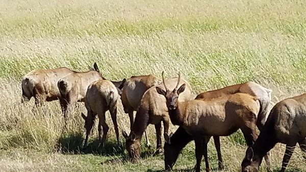 Elk Herd 22 July 2019