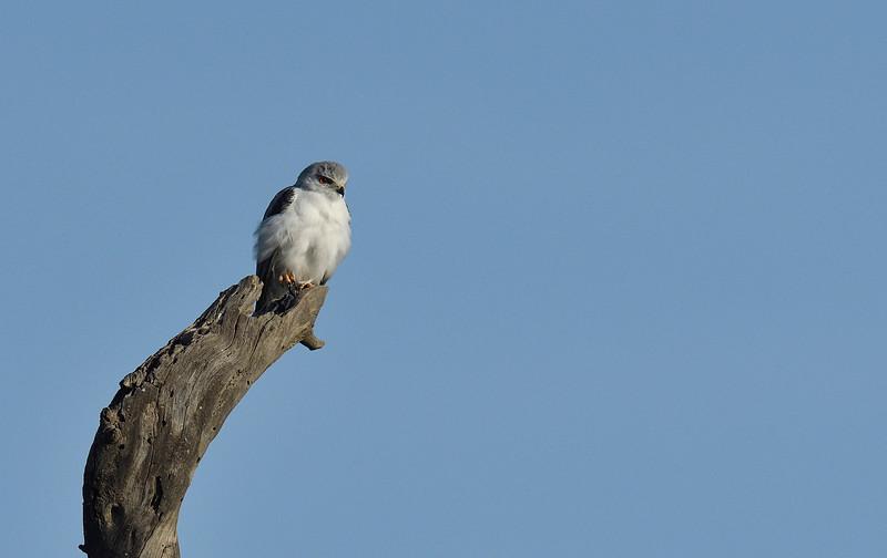 African-pygmy-falcon.jpg
