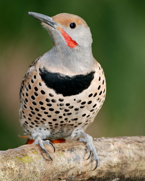 Flicker closeups are easiest if you use a blind, you still have to be careful, too much movement and there gone.