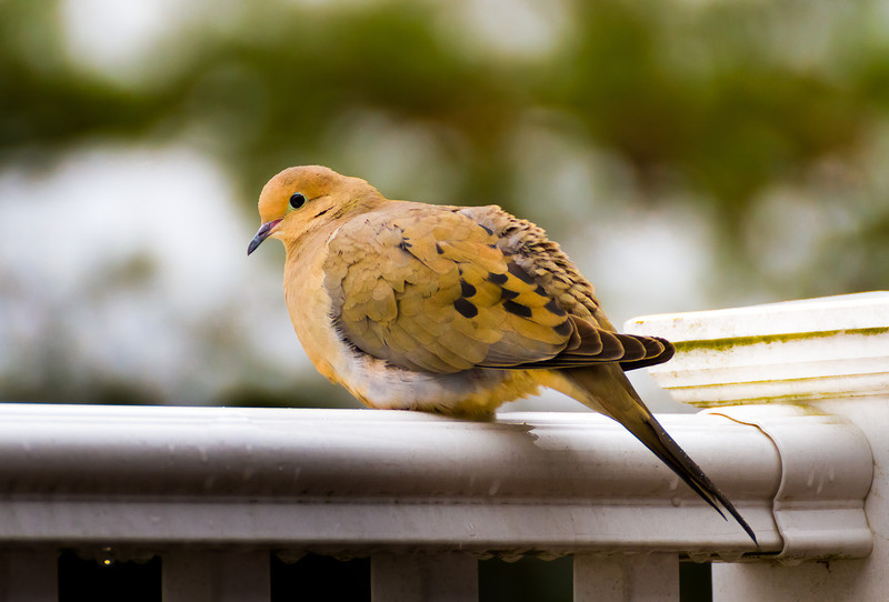 A mourning dove