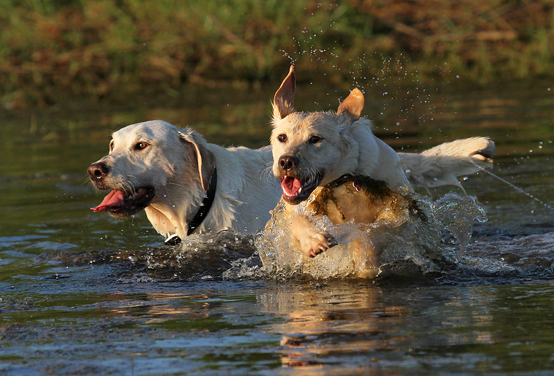 Labradors In Water.jpg