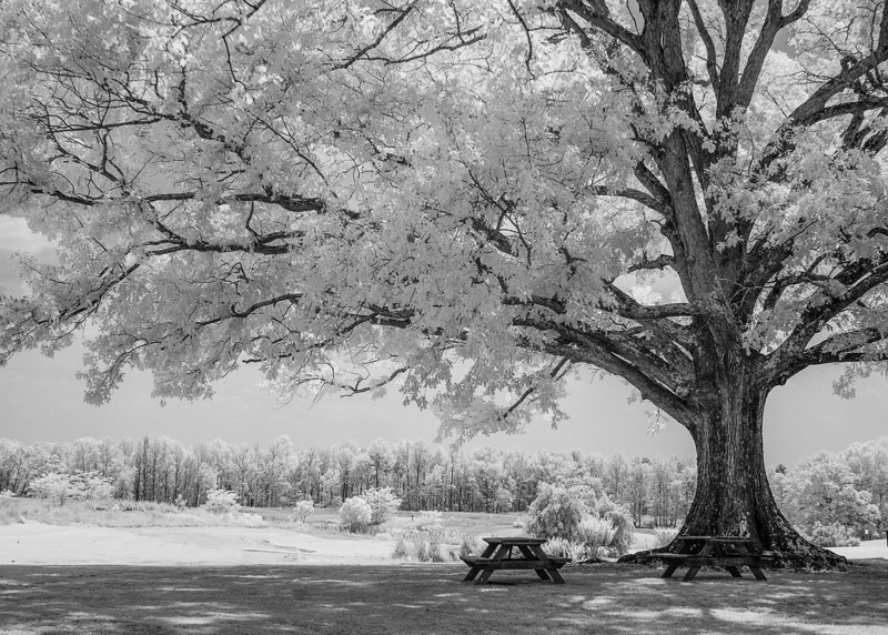 Oak Tree IR_3538.jpg