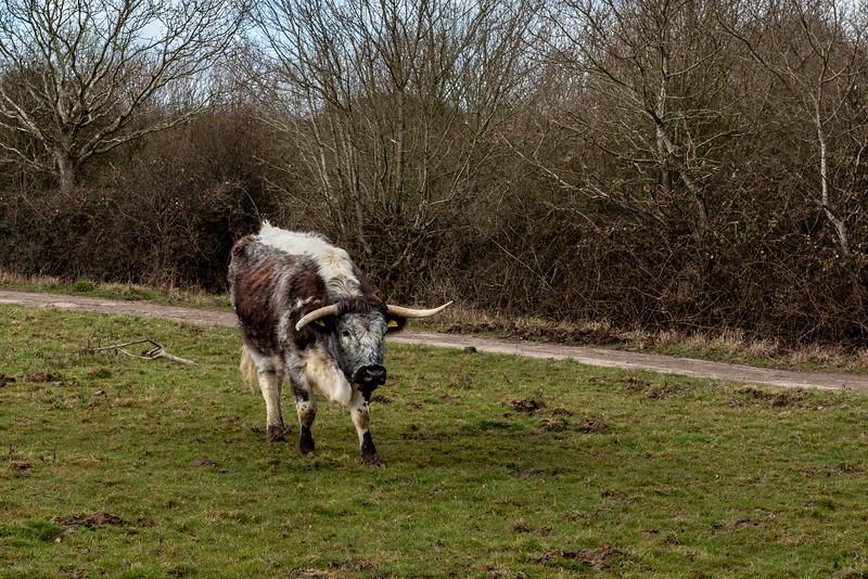 Knepp Cattle-16.jpg