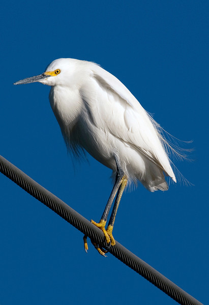 Snowy egret on a power line across Brays Bayou, Houston