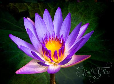 Blue Lotus Gardens