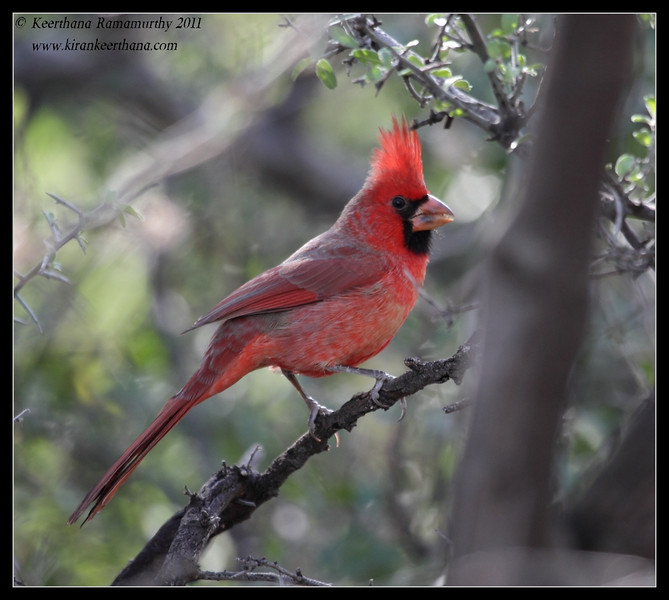 Male Northern Cardinal on the Proctor Road Trail, Madera Canyon, Arizona, November 2011