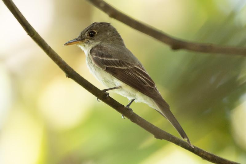 19-Sept Costa Rica Birds-1604.JPG