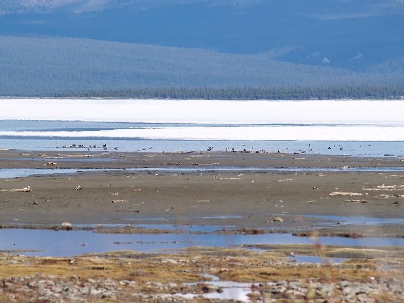 Water fowl on Kluane Lake on our way to Burwash Landing, YT.