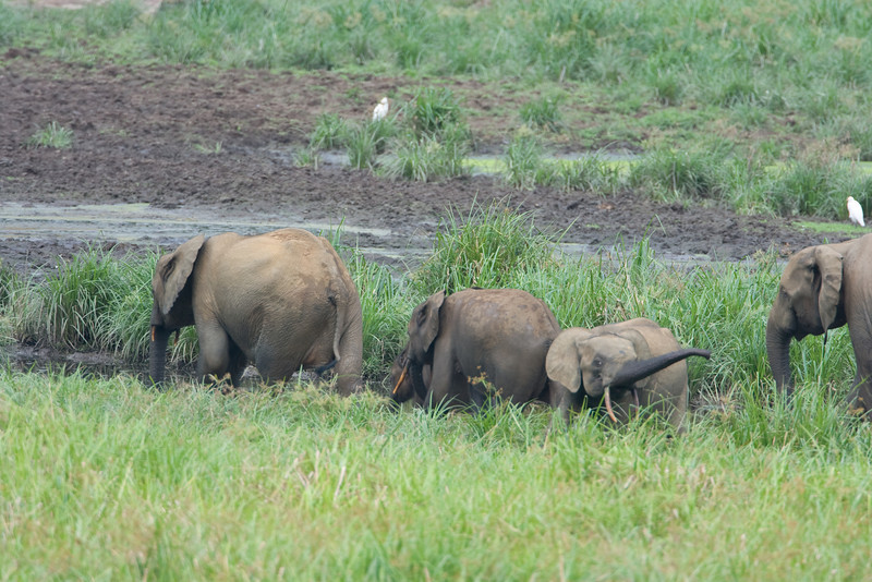 A family of elephants entered the Bai and traveled along the path to the mud puddle.