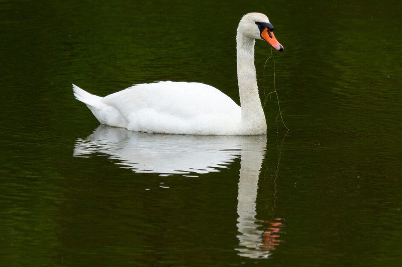 Mute swan, Martha's Vineyard, another view