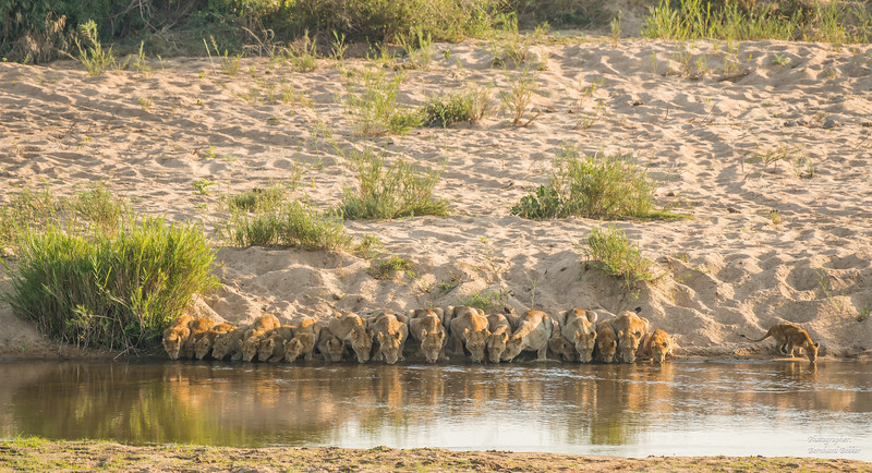 20 Lions Drinking