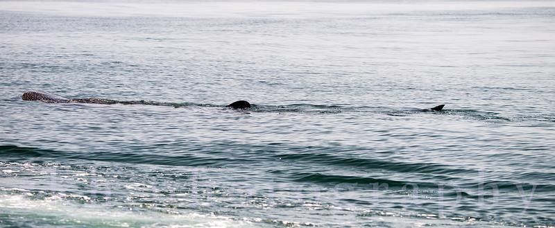 Whale Shark off Holbox Island, Mexico