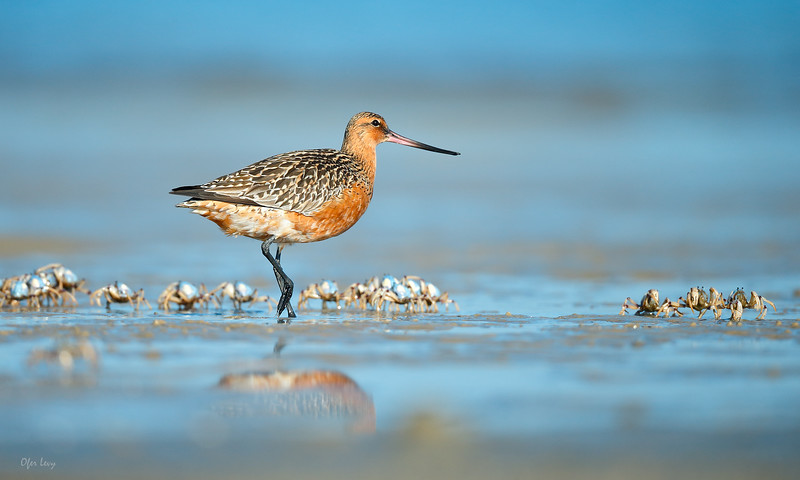 Bar-tailed Godwit with Soldier Crabs 2 MASTER.jpg