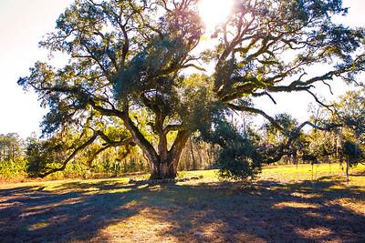 Harvey Tree