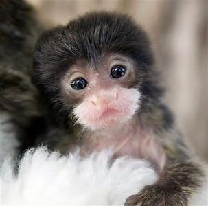 Tiny Teacup Monkeys ?