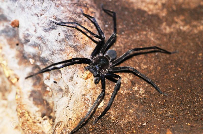 cave spider.jpg