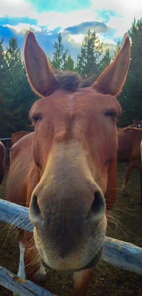 Montana Nose
