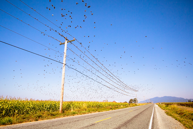 Thousands of birds take flight from utility wires and nearby blueberry fields in Skagit, Washington.