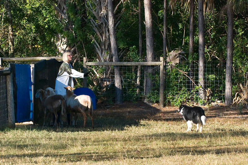 #14 - Blarney Mack a Border Collie, quailfied on the JH course.  He is owned & handled by Debra Moleski.
