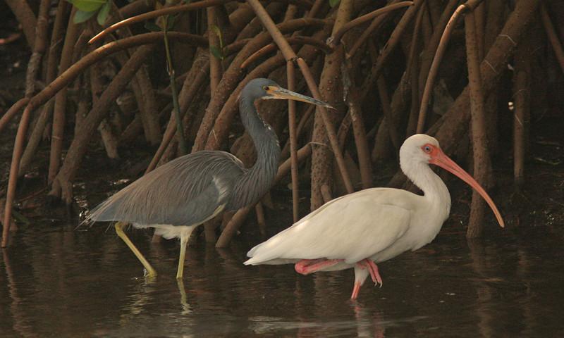 Tri-Colored Heron and White Ibis, Ding Darling Refuge, Sanibel, Florida