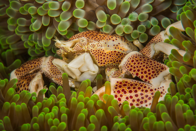 Porcelain Crab hiding in an Anemone