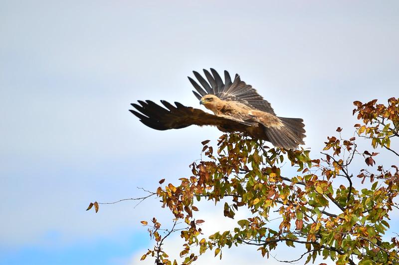 Tawny Eagle Takeoff