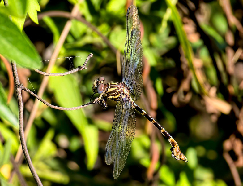 Five-striped Leaftail (Phyllogomphoides albrighti), male;  Bentsen SP