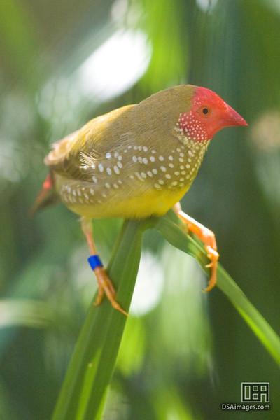Star Finch (Neochmia ruficauda)
