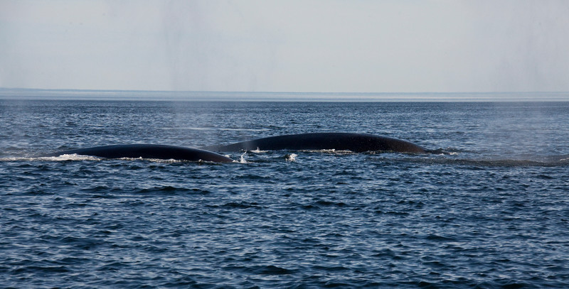 2011 quebec whale watching (25 of 80).jpg