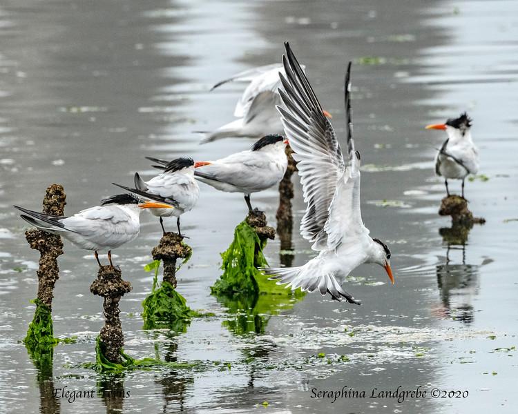 _DSC2402Elegabt Terns Pilings.jpg