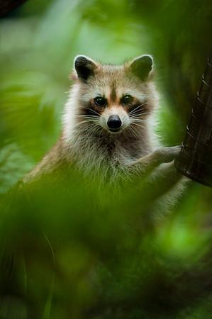 Raccoon_eating_seeds_DSC_9609_edited-1.jpeg
