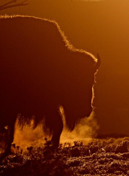 Bison backlit sunrise Teddy Roosevelt National Park ND IMG_5990.jpg