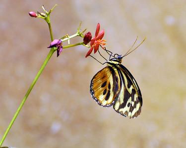 Smithsonian Butterflies