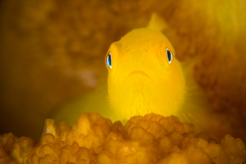 Yellow Bearded Goby