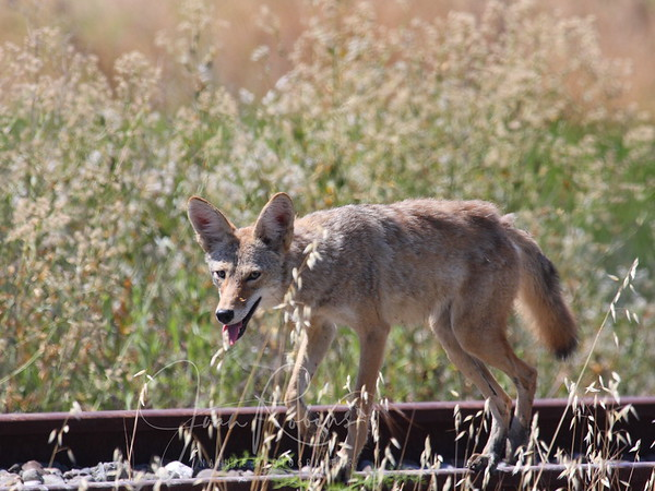Coyote visits Autodesk
