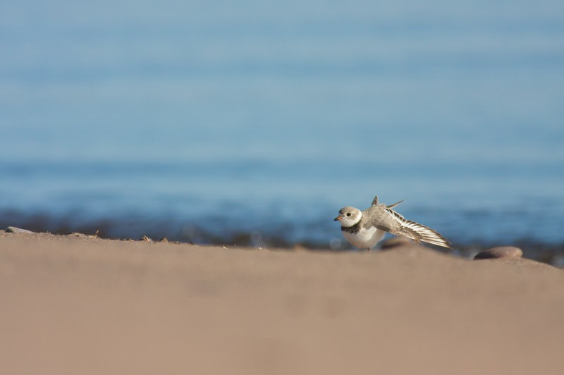 Piping Plovers are a rare sight on Great Lakes beaches. Human disturbance has greatly reduced suitable nesting sites on sandy beaches [May; Park Point, Duluth, Minnesota]