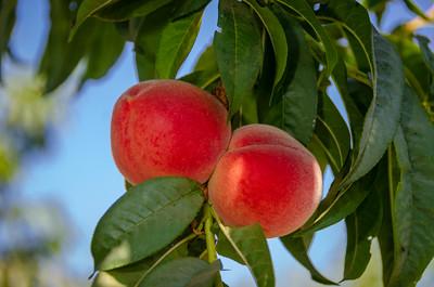 Babcock Peach - Prunus persica sp.