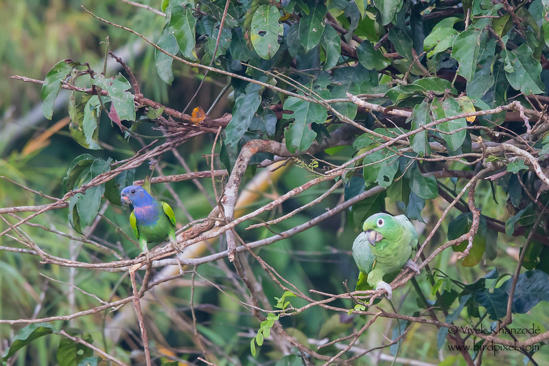 Blue-headed and Mealy Parrot - Tambo Blanquillo Clay Lick, Manu Biosphere Preserve, Peru