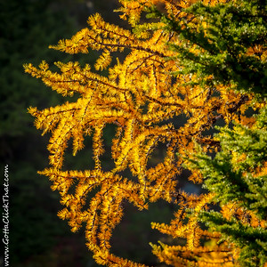 Fall Colors and Larches