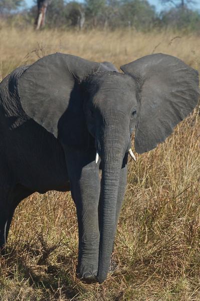Juvenile female elephant, Kwando Lagoon, Botswana